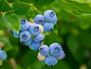 berries-3548239_960_720
